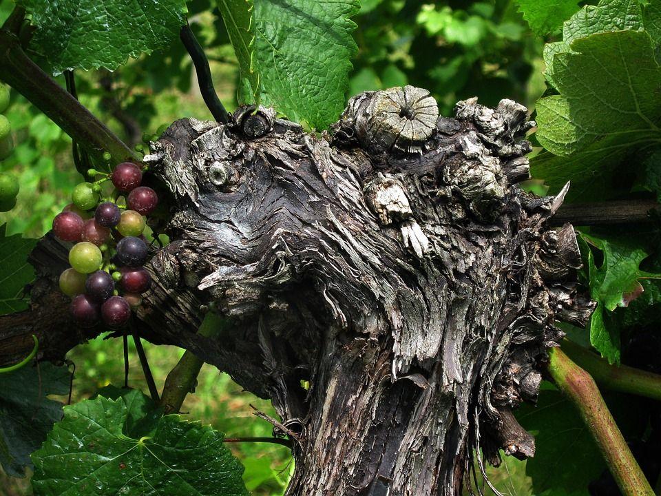 La viticulture au service de la technologie