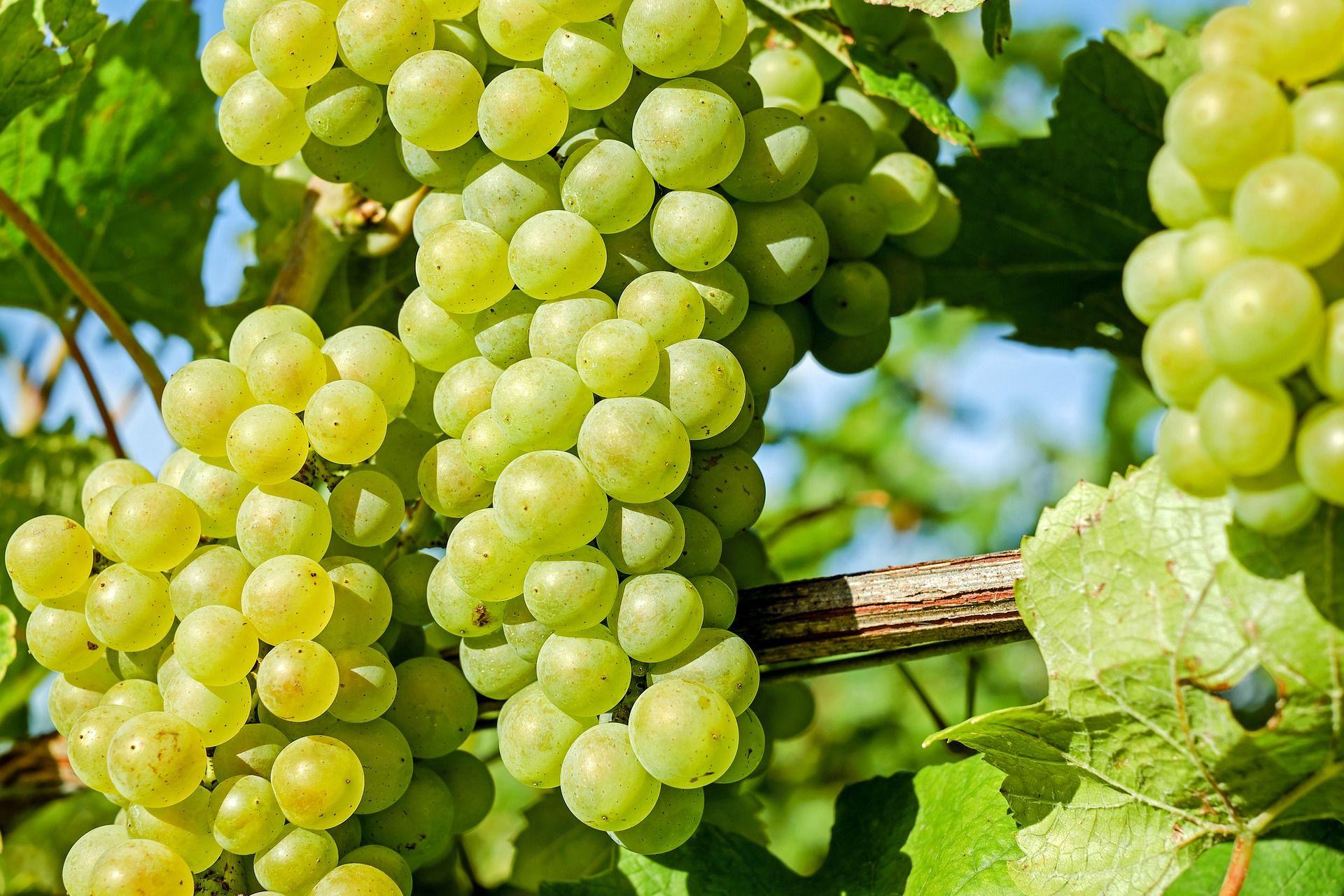 Les bienfaits de l'extrait de pépin de raisin